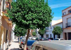 Los vecinos de Guareña afectados por los naranjos y las palmeras prefieren que se quiten los árboles